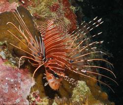 BD-060410-Moalboal--Pterois-antennata-(Bloch.-1787)-[Broadbarred-firefish].jpg